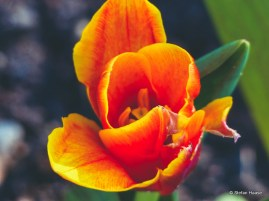 Tulip Colour Version
