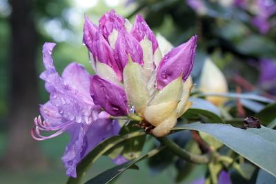 Rhododendron (1), Klick vergrößert ...