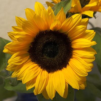 Leider ist die Sonnenblume auch nur ein Ersatz ...