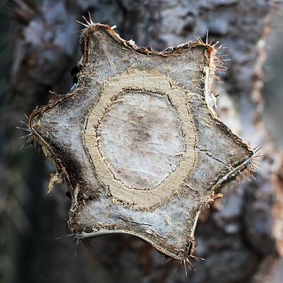 An welche Frucht erinnert dieser Stumpf? — Klick vergrößert.