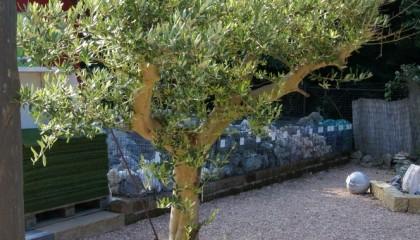 Angebot – Olivenbaum