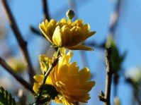 Ranunkelstrauch mit drei Blütenstadien