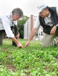 10/17/13 Photo by Timothy B. Wheeler / Baltimore Sun Staff.  Baltimore, Md.  Baltimore City Mark Cameron of the city Office of Sustainability and Stuart S. Schwartz of University of Maryland Baltimore County (in ballcap) examine forage radish plants sprouting in vacant lot in Northeast Baltimore.  Curbing polluted runoff can be daunting in cities with lots of pavement and relatively few green spaces. A researcher with the University of Maryland Baltimore County has sowed forage radishes on a recently cleared vacant lot in East Baltimiore to see if they can serve as natural storm-water controls. Also known as Daikon or Japanese radishes, the plants' giant roots grow deep into the soil. Stuart Schwartz hopes they'll be able to break up hard-packed dirt enough so that it willl soak up rainfall and keep it from washing trash and pollution down the nearest storm drain into the harbor. ORG XMIT: 1144165