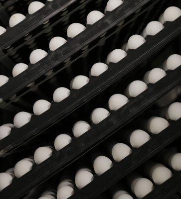 egg-produksjon