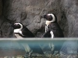 Singapore Zoo: penguins