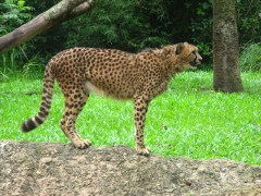 Singapore Zoo: cheetah