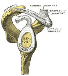 glenoid-labrum