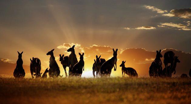 Australia wallabies at sunset