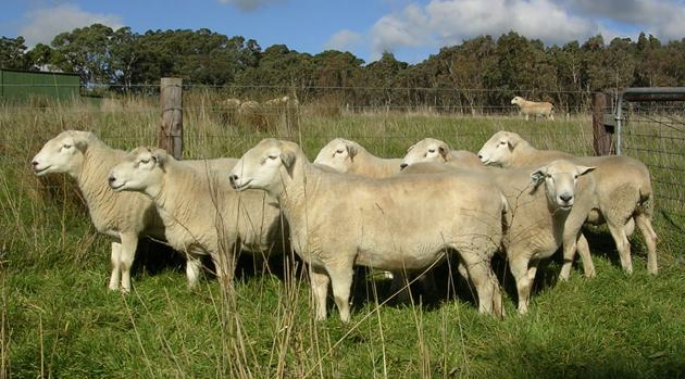 Australian sheep