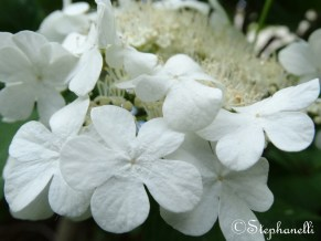 Viburnum opulus - Guelder-rose