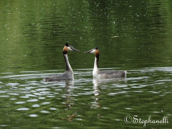 Great Crested Grebes having some quality time together.