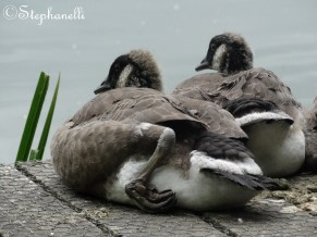 It's tiring being a gosling.