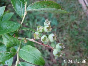 Blueberries to be.