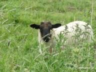 Sheep - he didn't want to help me
