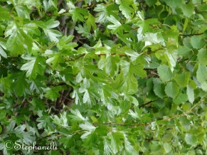 Small Leaves