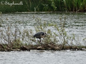 Skulking Grey Heron - Ardea cinerea