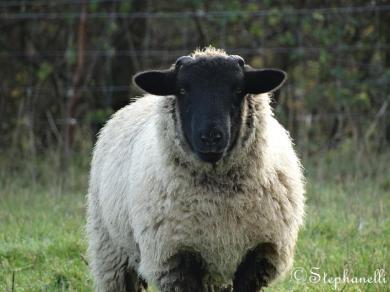 Startled Sheep