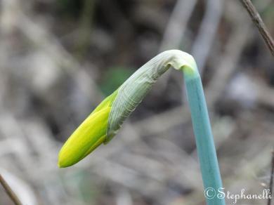 Budding daffodil - its nearly Spring!