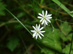 Stitchwort or Chickweed, unsure which!