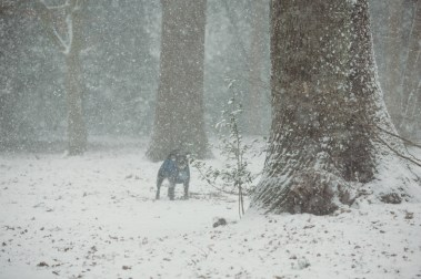 oscar-bigboots-stephanie-louise-green-pet-photography-photographer-in-north-london-n7-n8-highgate-crouchend-hampstead-muswell-hill-cute-dog-in-snow-winter-patterdale-collie-terrier-41