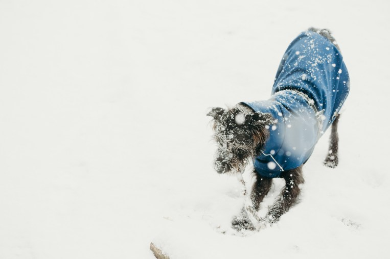 oscar-bigboots-stephanie-louise-green-pet-photography-photographer-in-north-london-n7-n8-highgate-crouchend-hampstead-muswell-hill-cute-dog-in-snow-winter-patterdale-collie-terrier-54