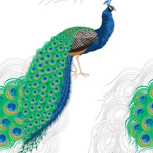 StephanieDesbenoit-wallpaper-birds-peacock-white-0
