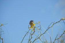 goldflowers