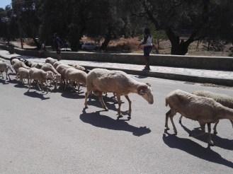 Hier laufen Ziegenherden auf der Straße rum.