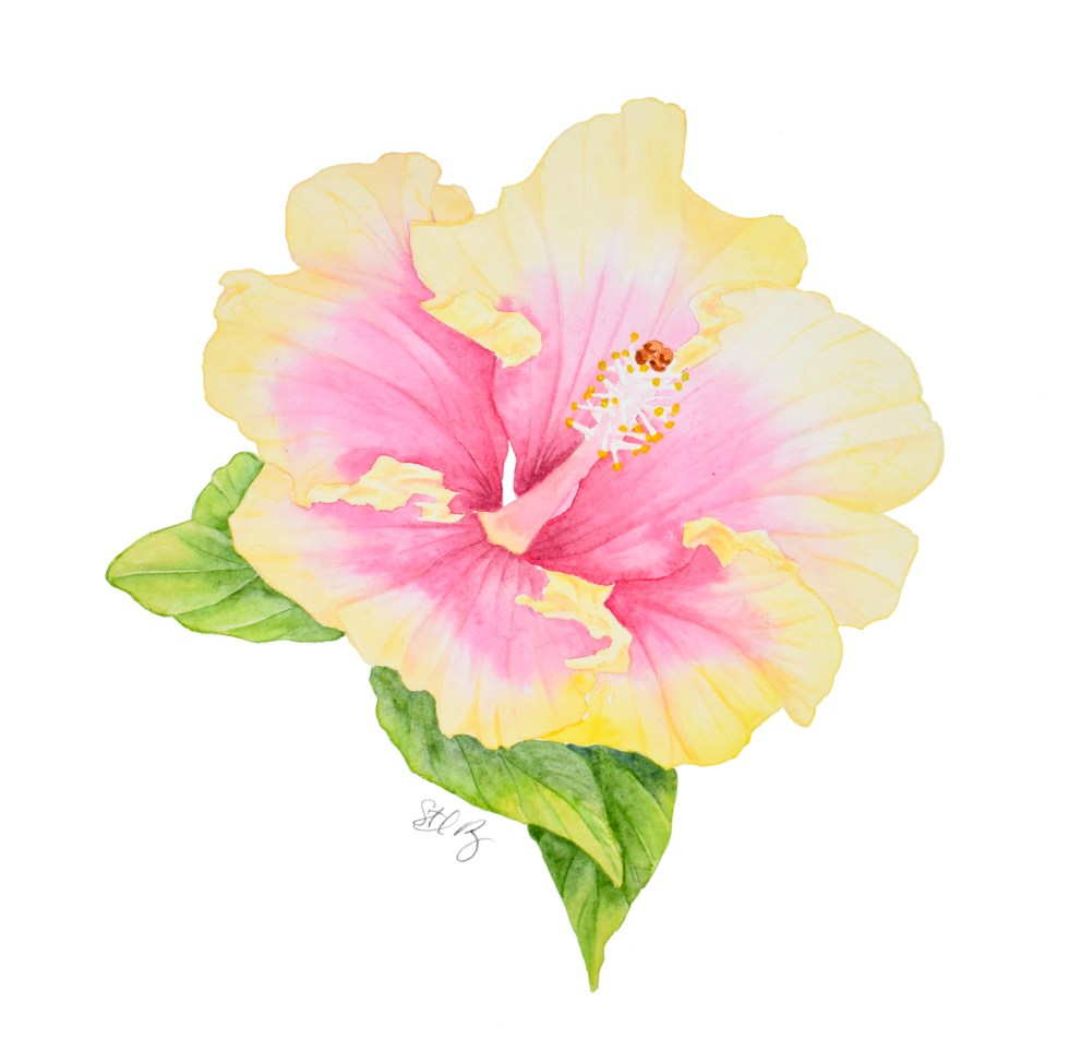 Pink and Yellow Hibiscus