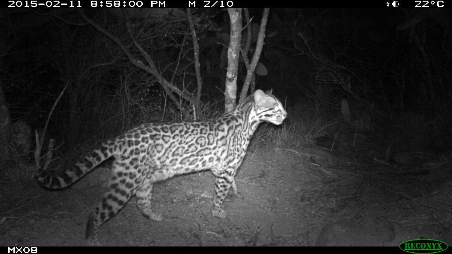 ocelot Camera Trap Photos from Mexico