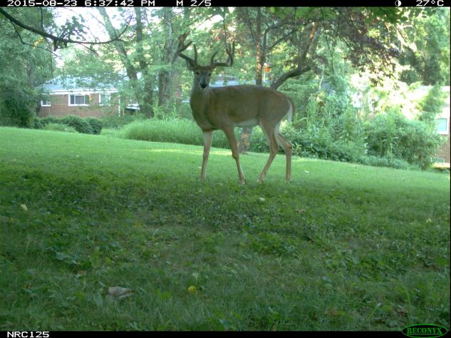 Deer on camera trap