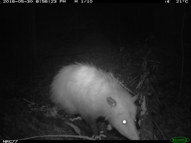 Opossum on camera trap