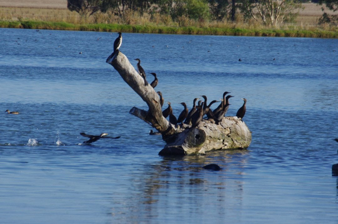 A group of waterbirds sit on a log floating in a body of water.