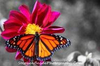 Monarch Wide Wings