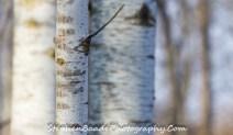 Birch Five