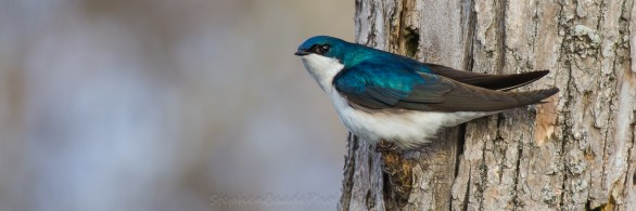 Tree Swallow 55