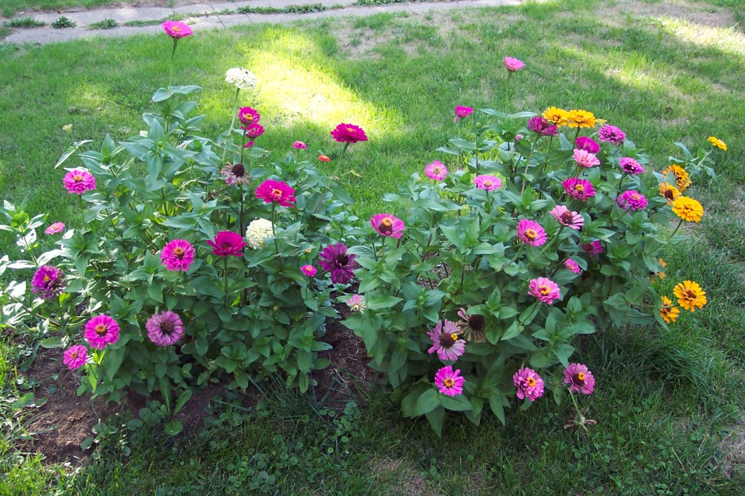 Giant zinnias from a past garden