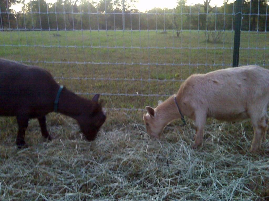 20091019 goats