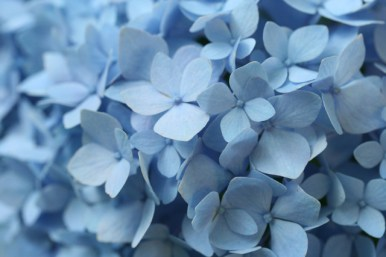 hydrangea-endless-summer-closeup-photo-linda-wiggen-kraft-blog2