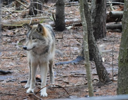 Cree, one of the Grey wolves at the Refuge.