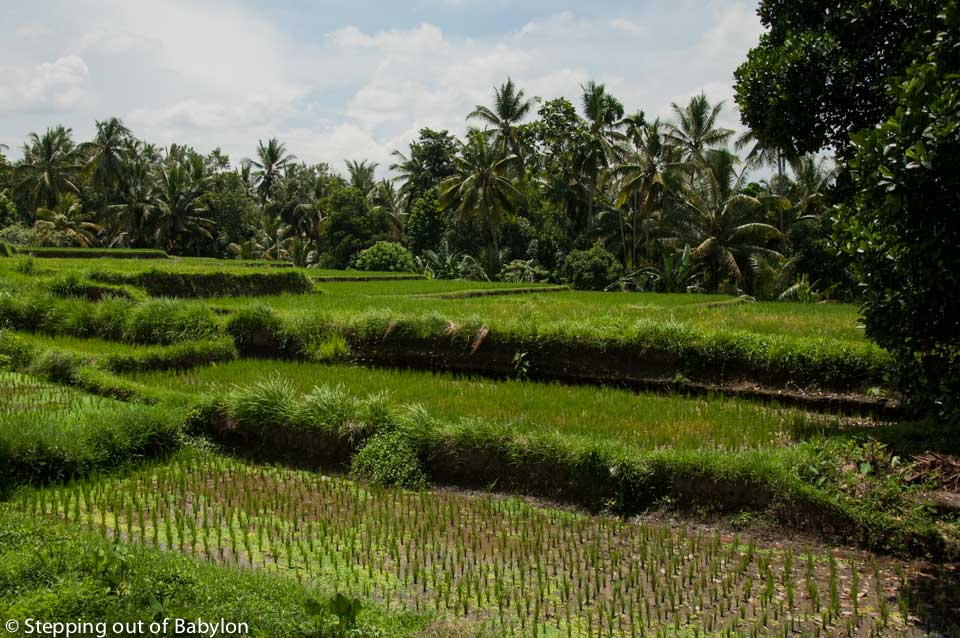 Ubud_rice fields_DSC_3434