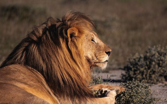 A male lion at rest looks to the right.