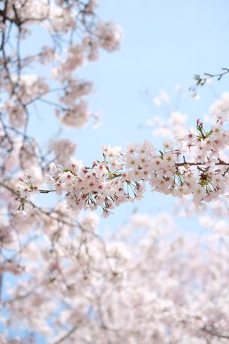 A view of tree blossoms from the perspective of looking through the branches up to the sky.