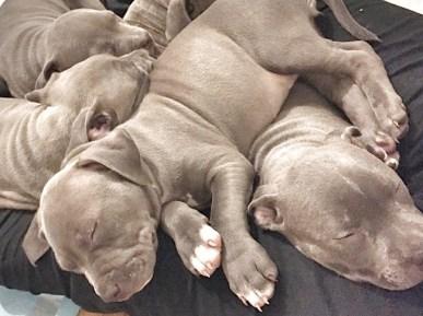 pit-bull-puppies