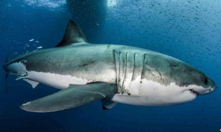 Secretos genéticos del gran tiburón blanco
