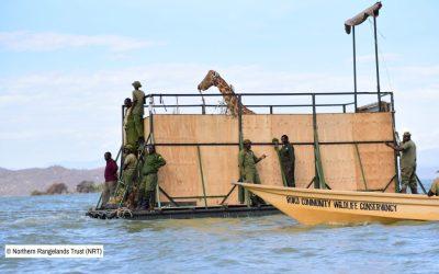 Rescatan 9 jirafas de una isla a punto de hundirse
