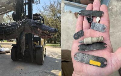 Encuentran placas de perros desaparecidos hace 20 años dentro del estómago de caimán