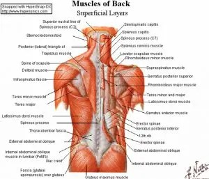 backmuscles