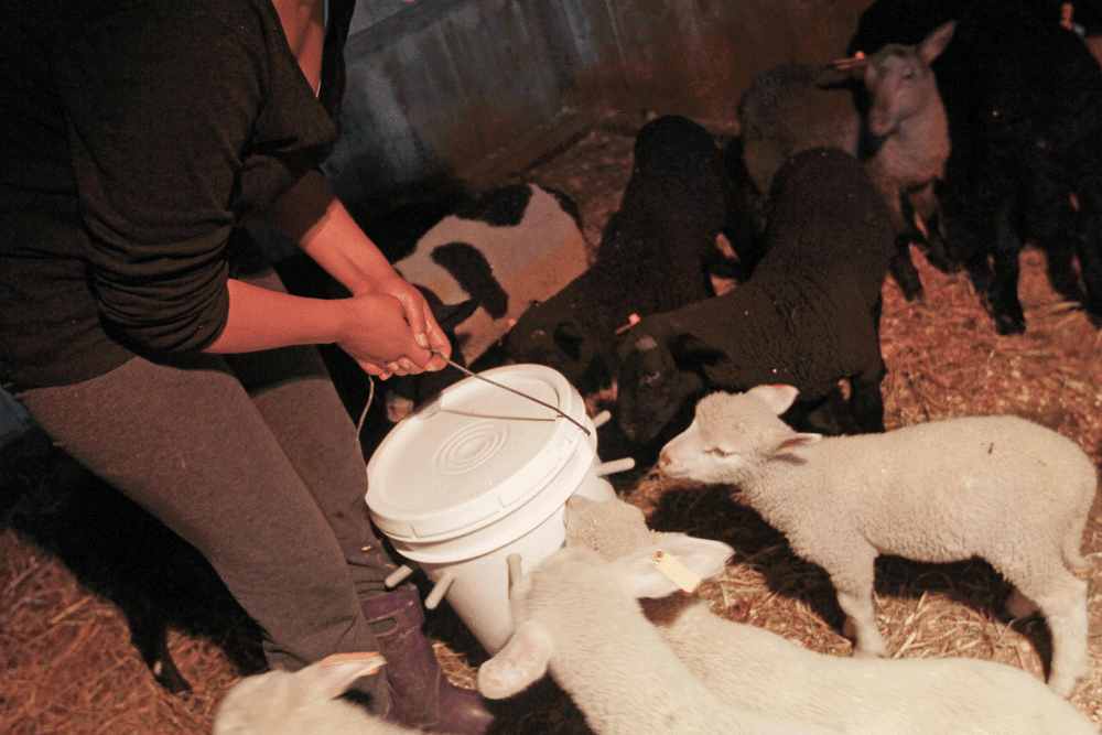 5 Things I Learned While Bottle Feeding Lambs