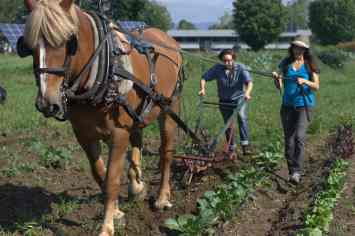Students plow the gardens using draft horses